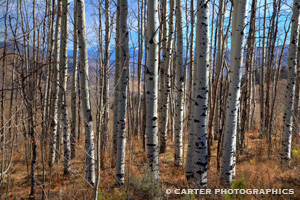 Photo of Aspen trees taken by Carter Photographics