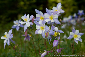 Photo of wild Columbines taken by Carter Photographics